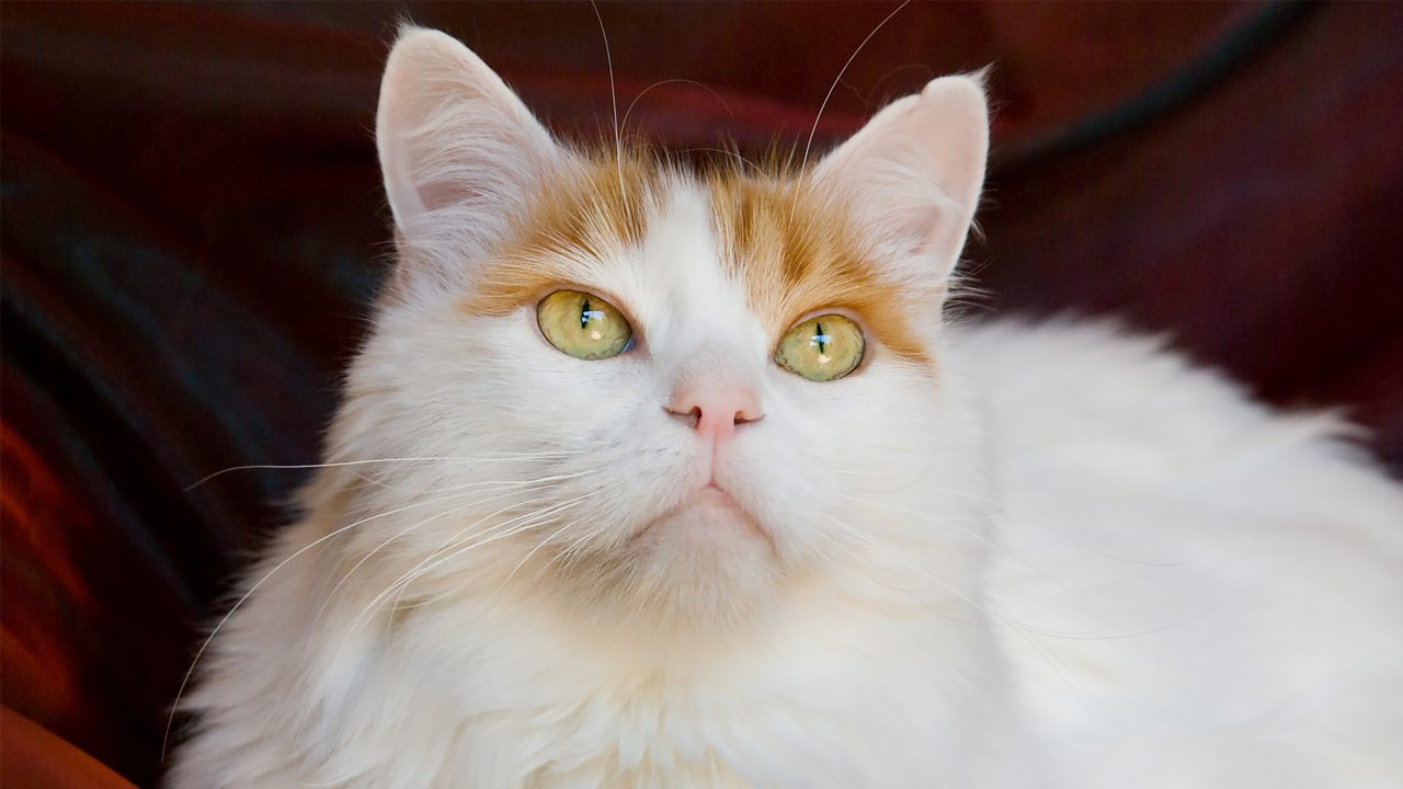 A photo of a white cat with orange patches around the ears.