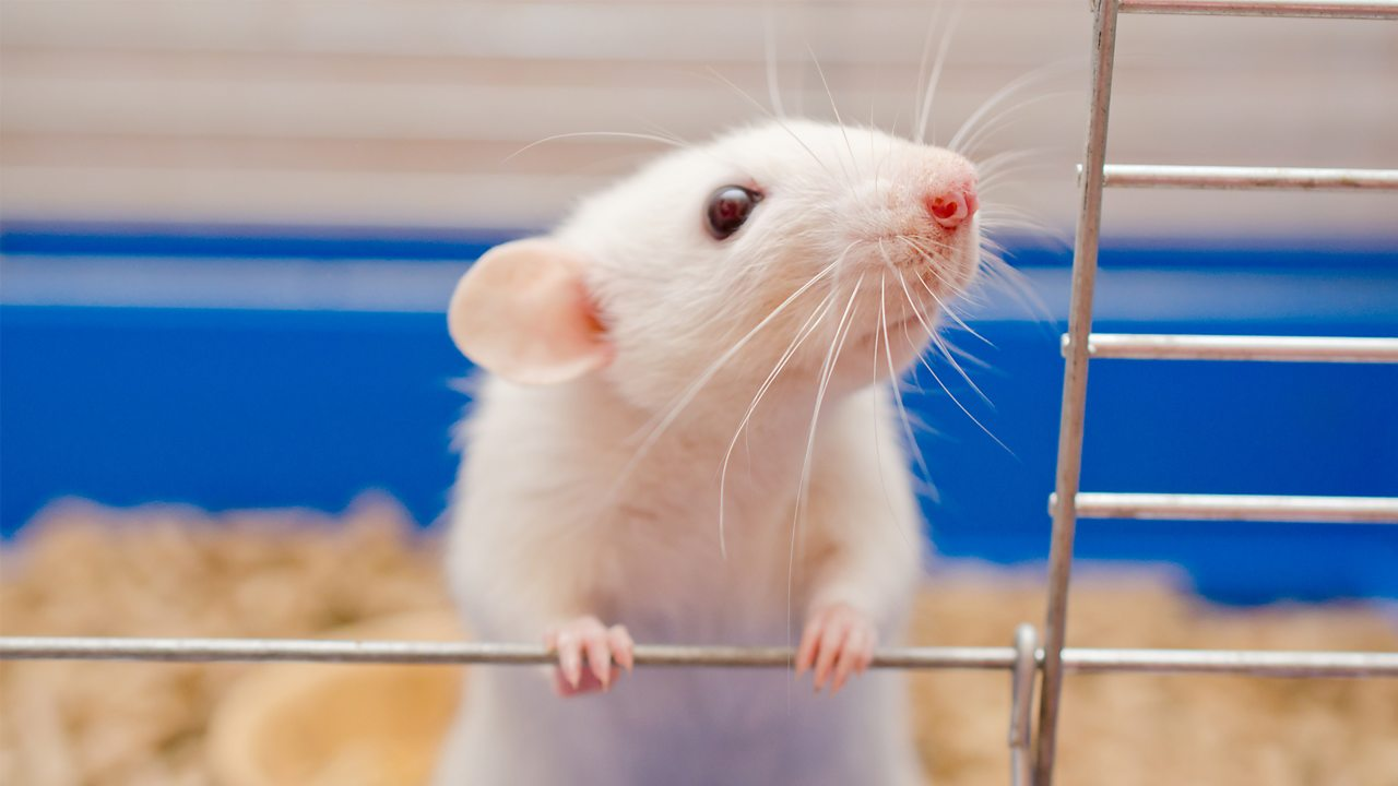 A photo of a white mouse climbing out of a cage.