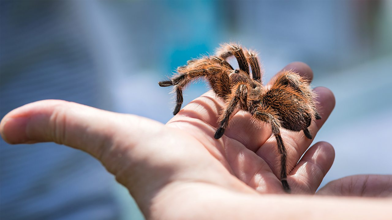 A photo of a tarantula in someone's hand.
