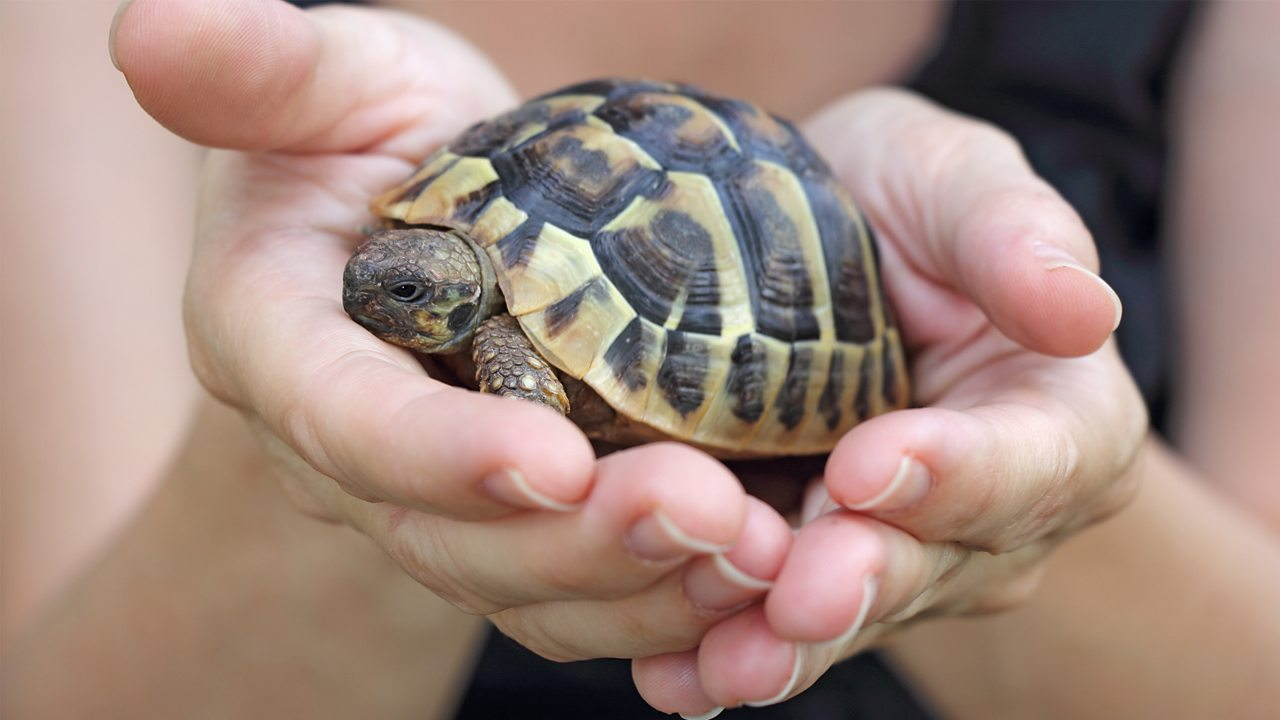 A photo of a small pet tortoise in someone's hand.