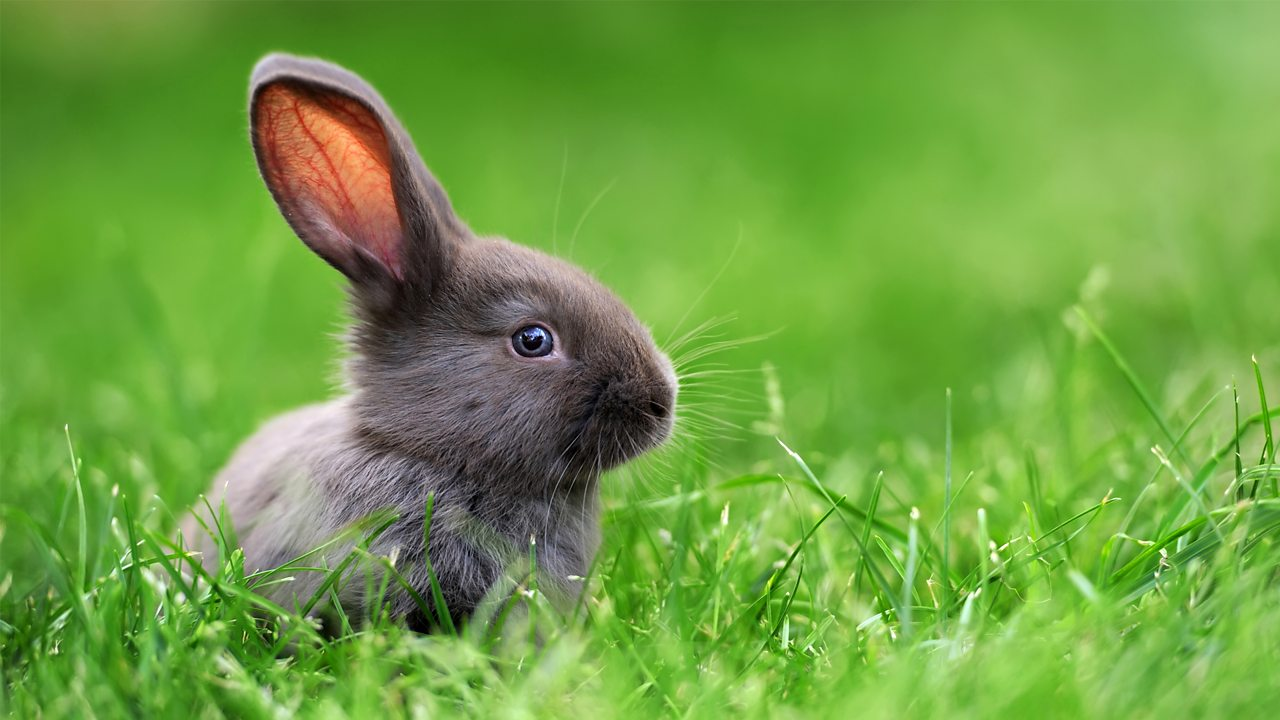 A photo of a small grey rabbit on grass.