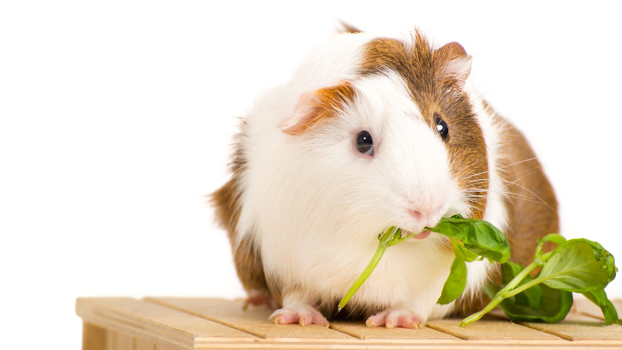 A photo of a white and brown guinea pig eating basil against a white background.