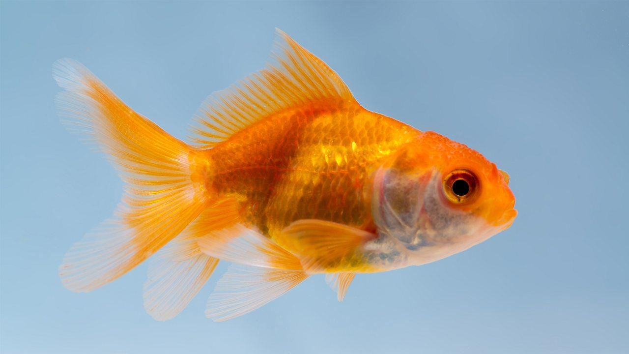 A goldfish swimming in it aquarium