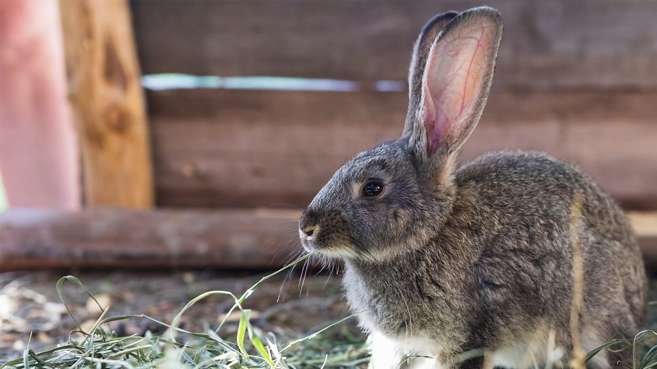 A domestic rabbit in a garden