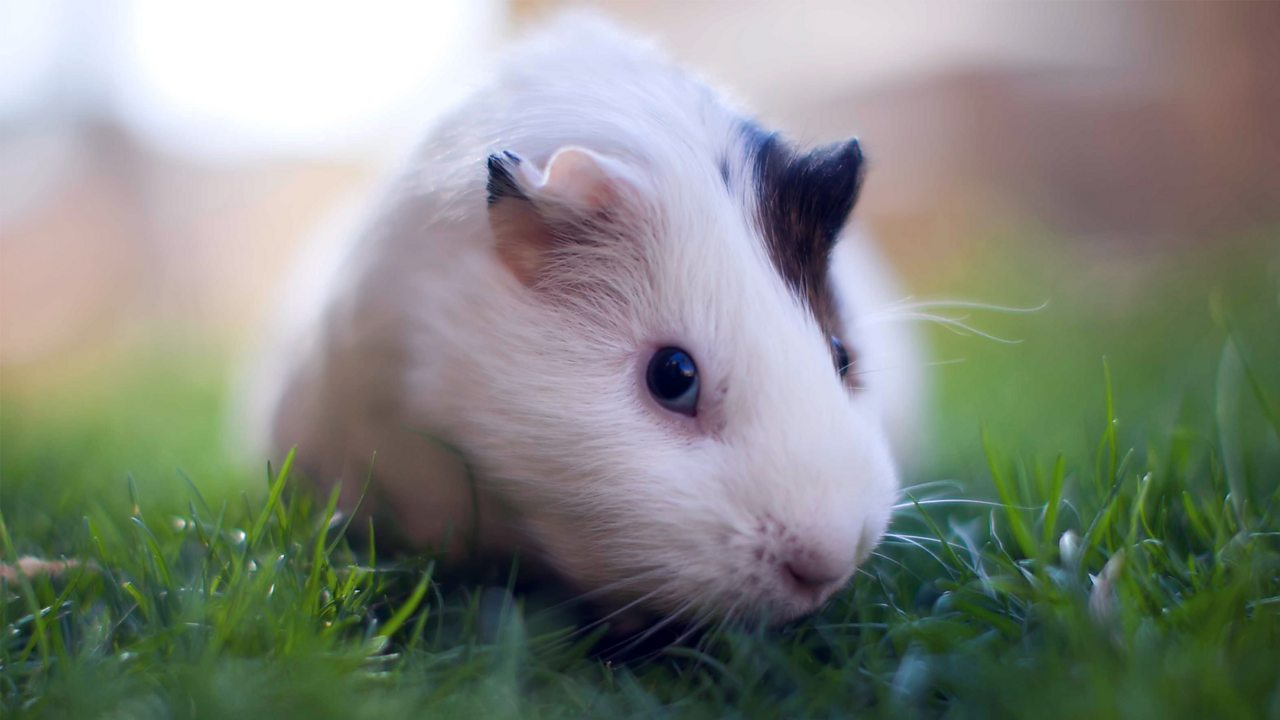 A guinea pig on a patch of grass