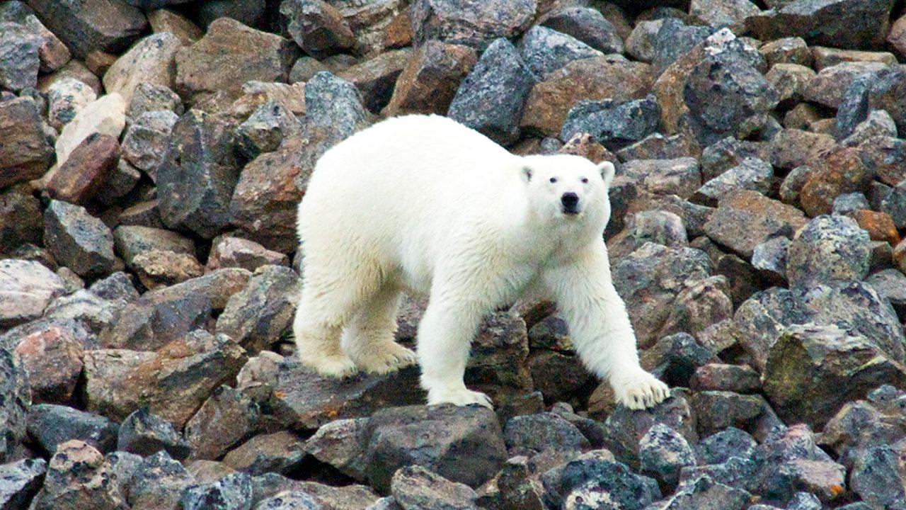 A polar bear in the Arctic walking across a rocky landscape