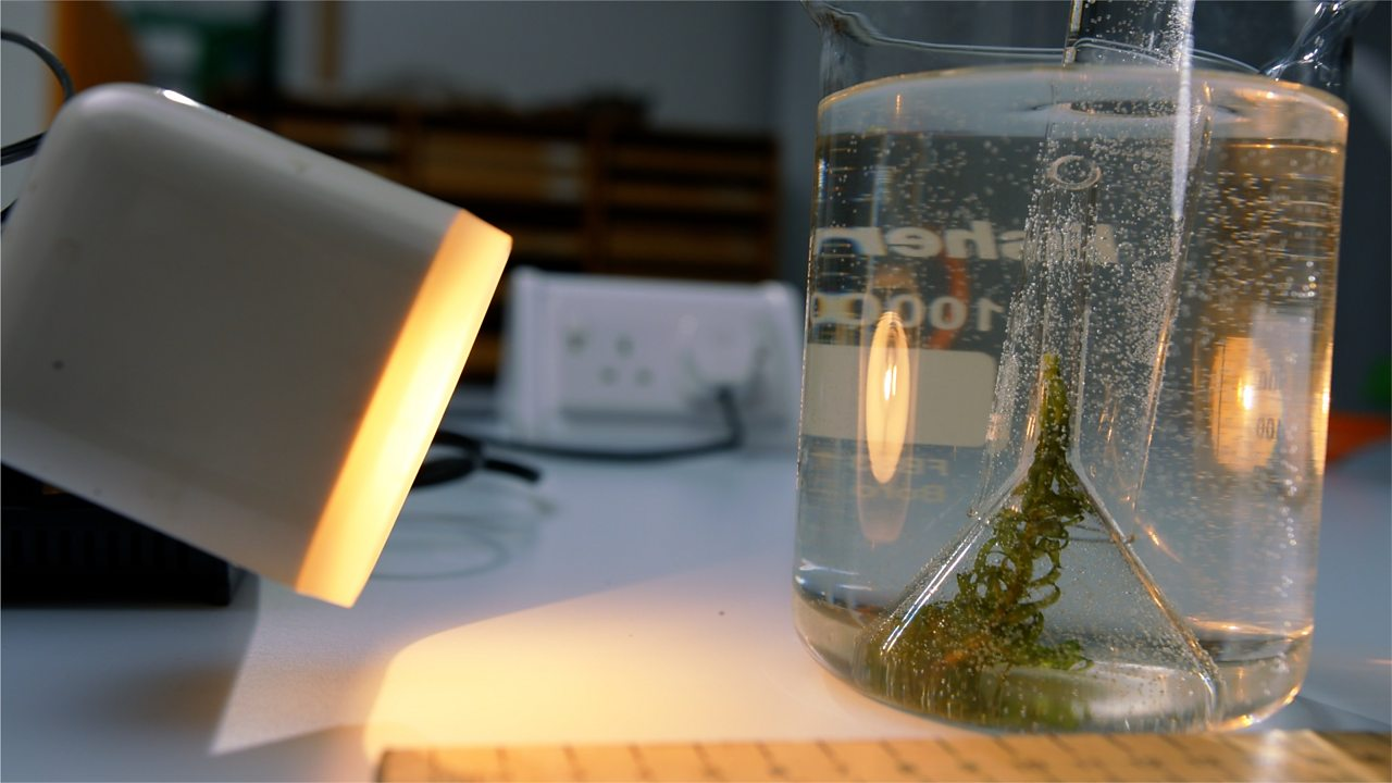 Investigate the effect of light intensity on the rate of photosynthesis