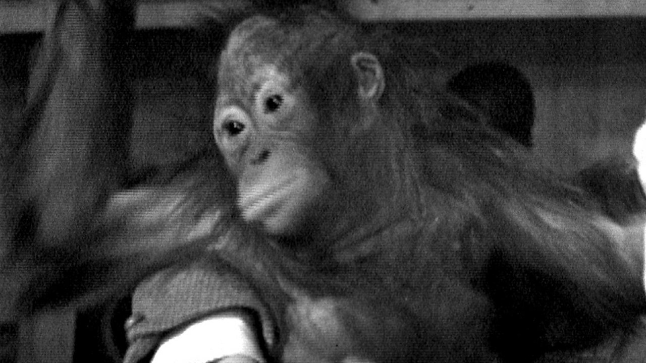 Bulu the orangutan, 1963