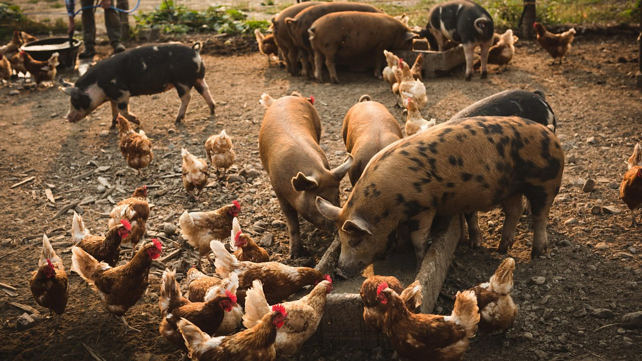 Chickens and pigs eating food