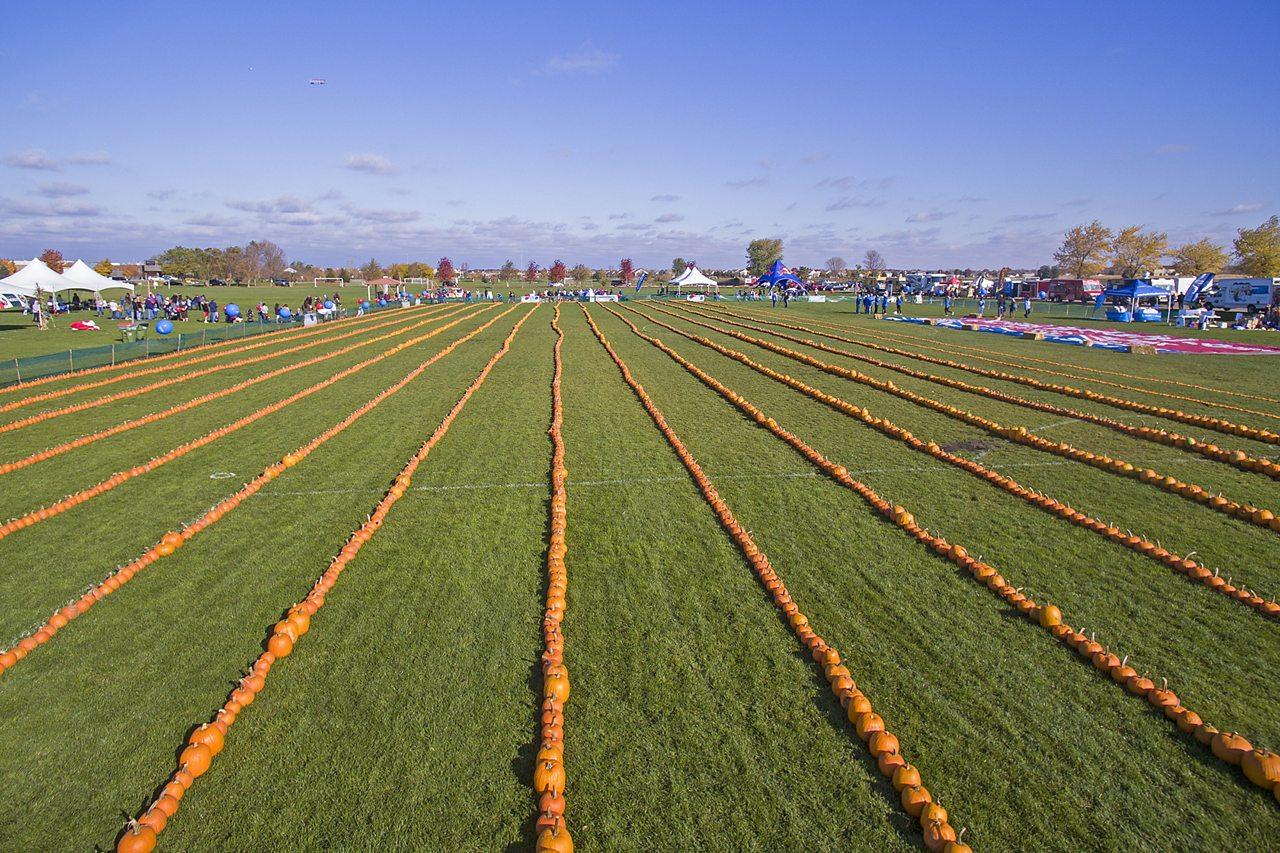 a field with long lines of pumpkins