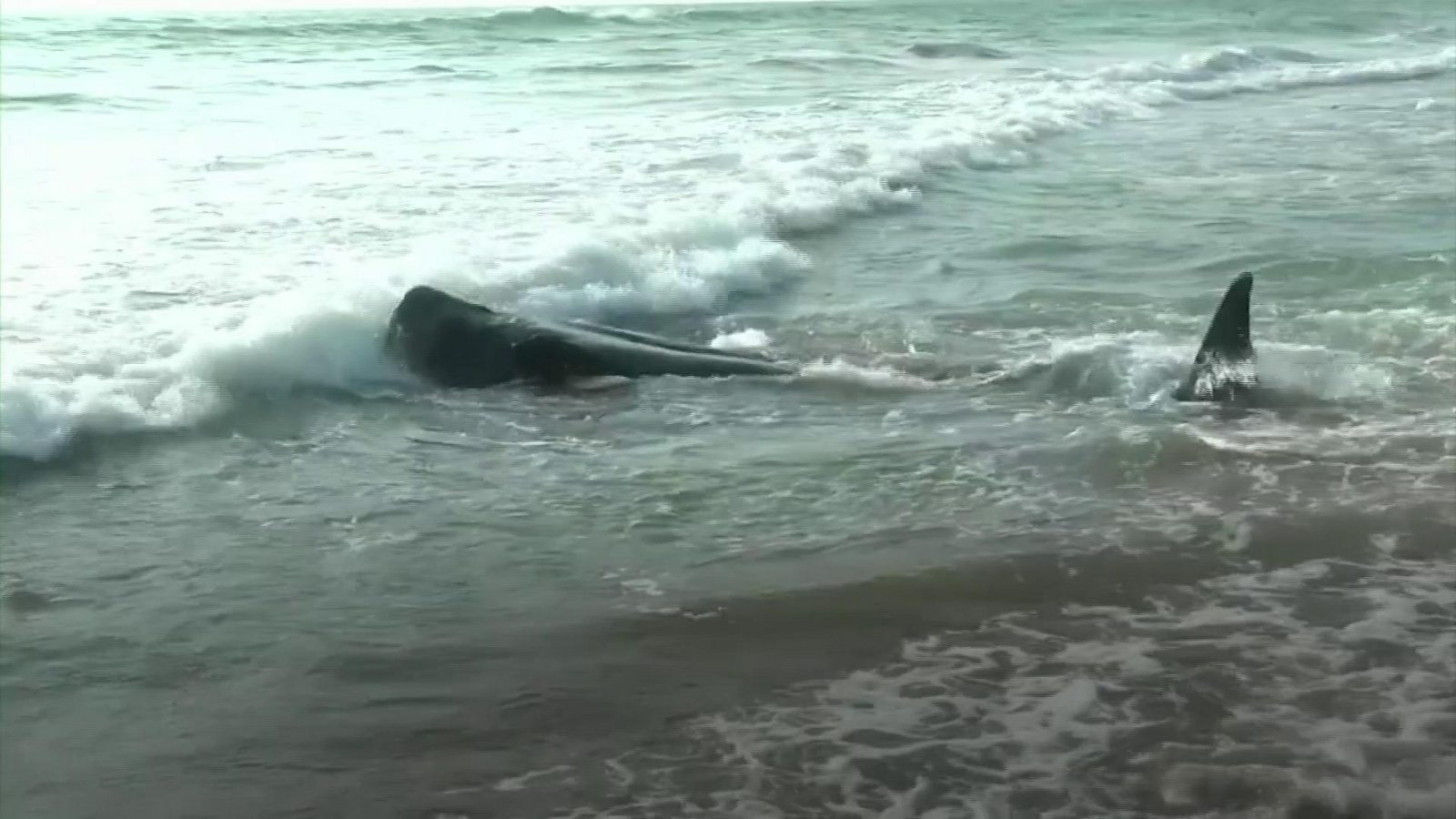 Rescuers rush to save beached pilot whales