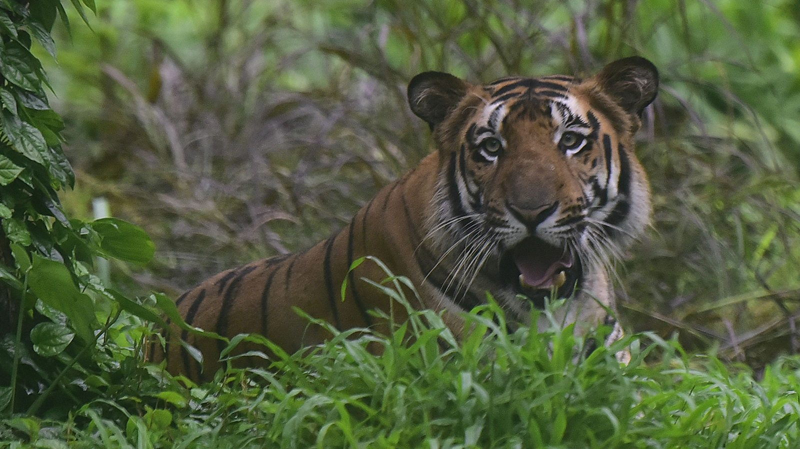 Saving India's tigers from extinction