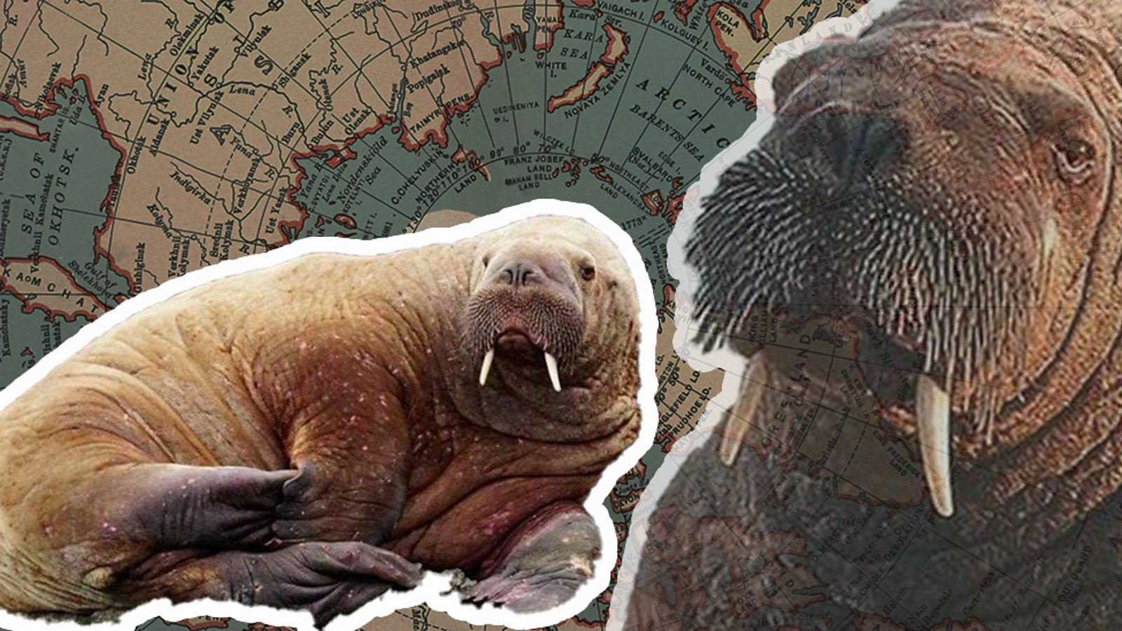 Why has Wally the walrus ended up in Wales?