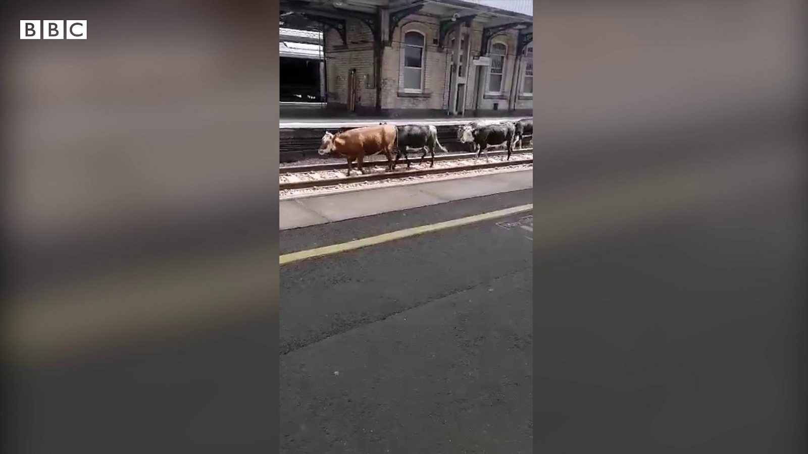 Cows delay trains after invading station