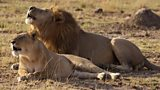 Kenyans and lions vie for land