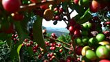 Climate Change Eradicating Wild Arabica Coffee