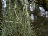 Usnea articulata - String of Sausage Lichen