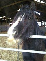 Horse moustache