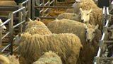 Sheep rustling crime