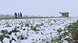 Sugar beet in the snow