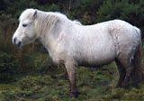 One of the Shetland ponies tackling invasive species on Goss Moor, Cornwall