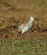 The Slender-billed Curlew