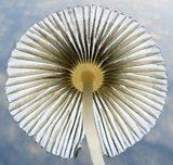 Parasola Plicatilis by Jens Petersen