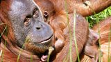 Durrell's Orangutan