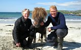 Racing and dancing Shetland ponies