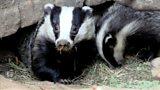 Badger boom in Gosport