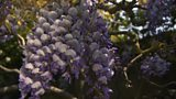Pruning a wisteria