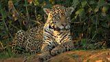 Wild Brazil: jaguar index