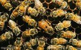 BBC Nature: Bees