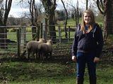 Dorest Sheep in Dernaflaw