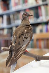 Martha - the last passenger pigeon