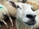 Lamb prices