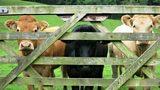 Cows 1920x1080