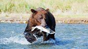 Natural World - 2011-2012 - Grizzlies Of Alaska