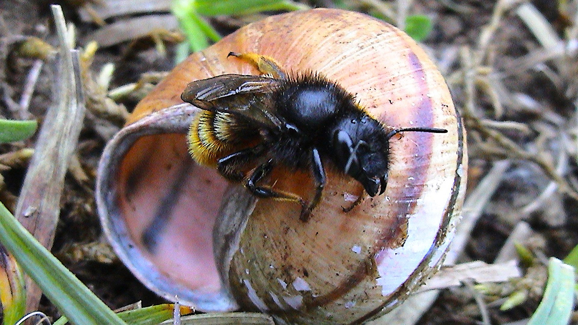 bbc radio 4 the living world a shell nesting bee