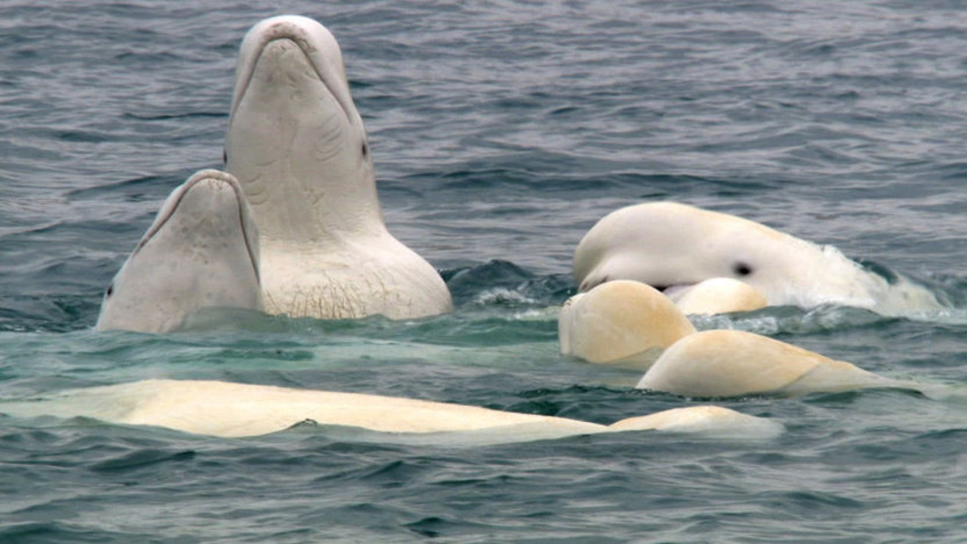 bbc one frozen planet listening in on a beluga back scrub