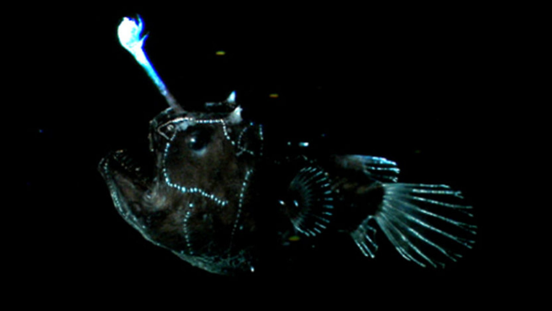 BBC One - The Blue Planet, The Deep, Light lures for Anglerfish Light  143gtk