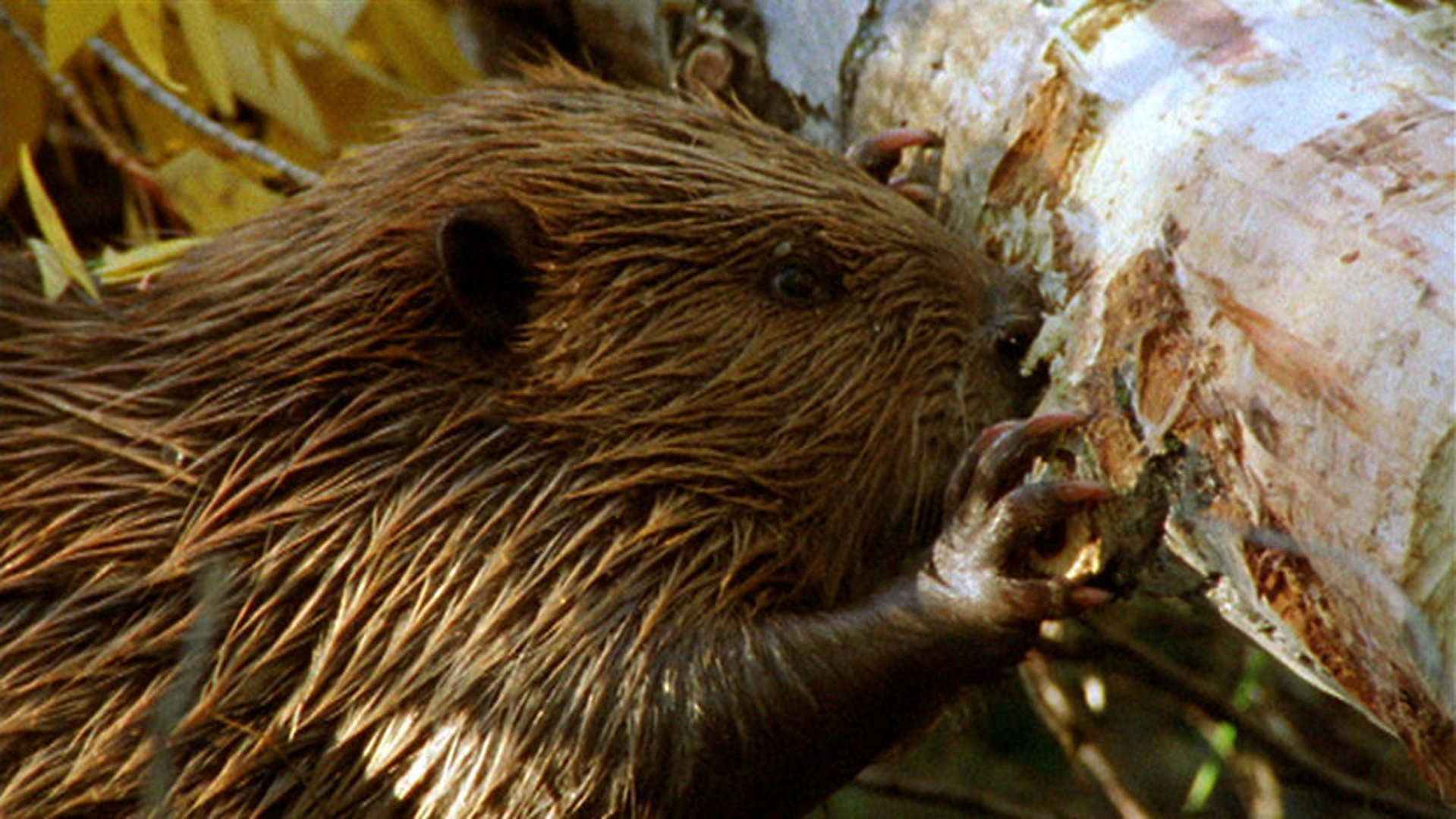 bbc one the life of mammals chisellers beaver hotel