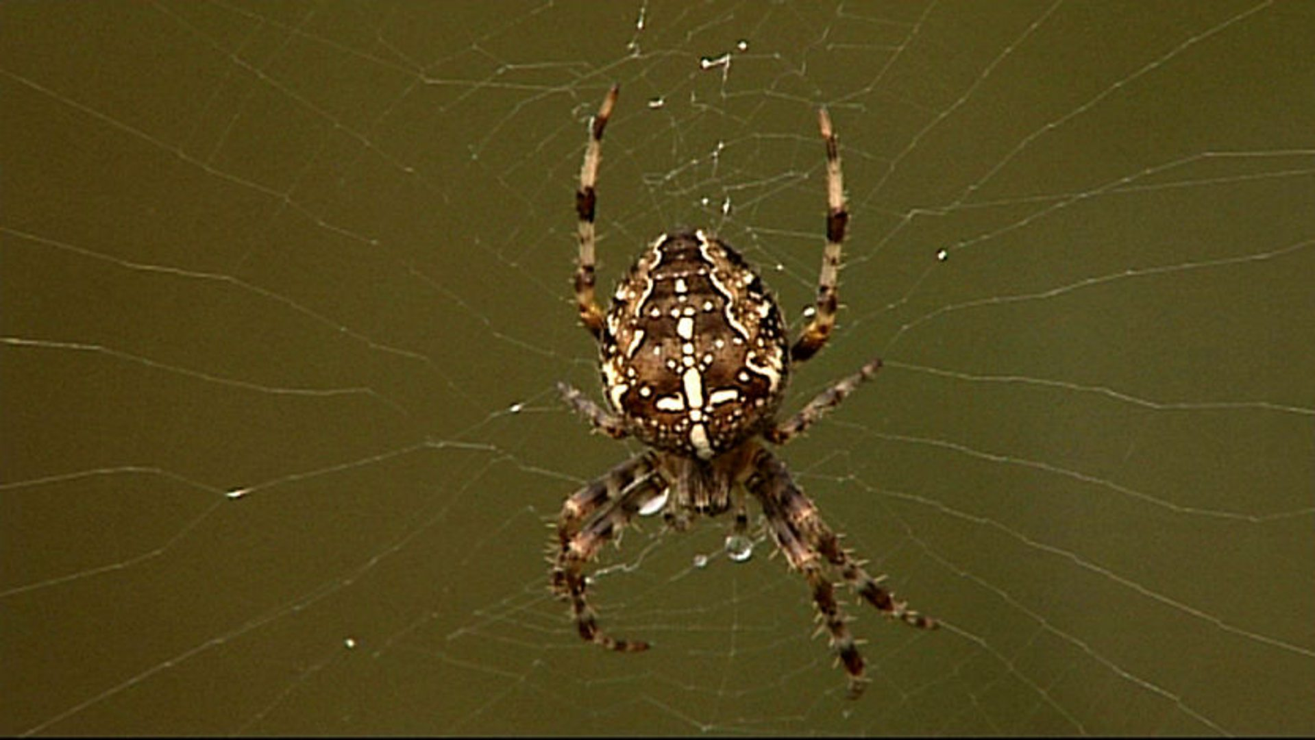 BBC Two - Nature\'s Top 40, Episode 5, Master spinner spiders