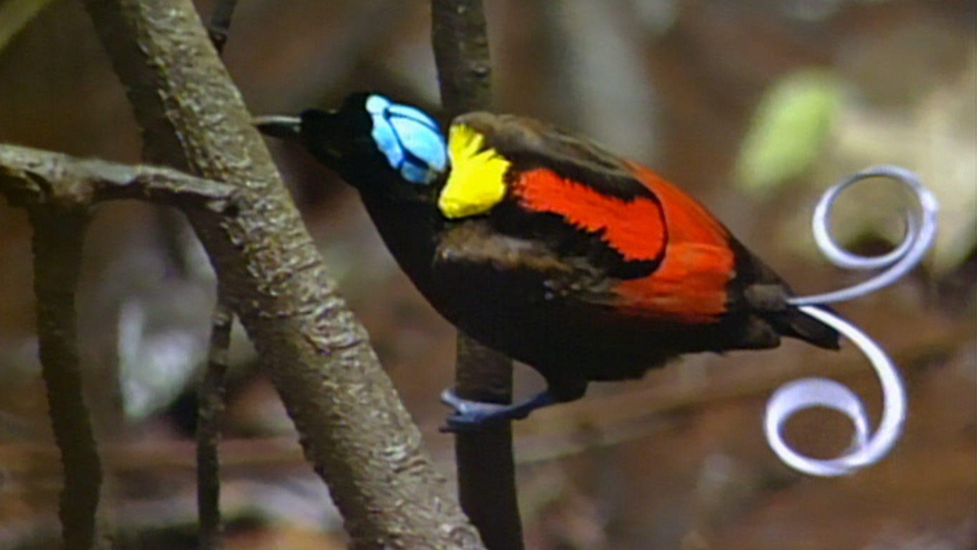 bbc two - attenborough's paradise birds, black sicklebill bird of