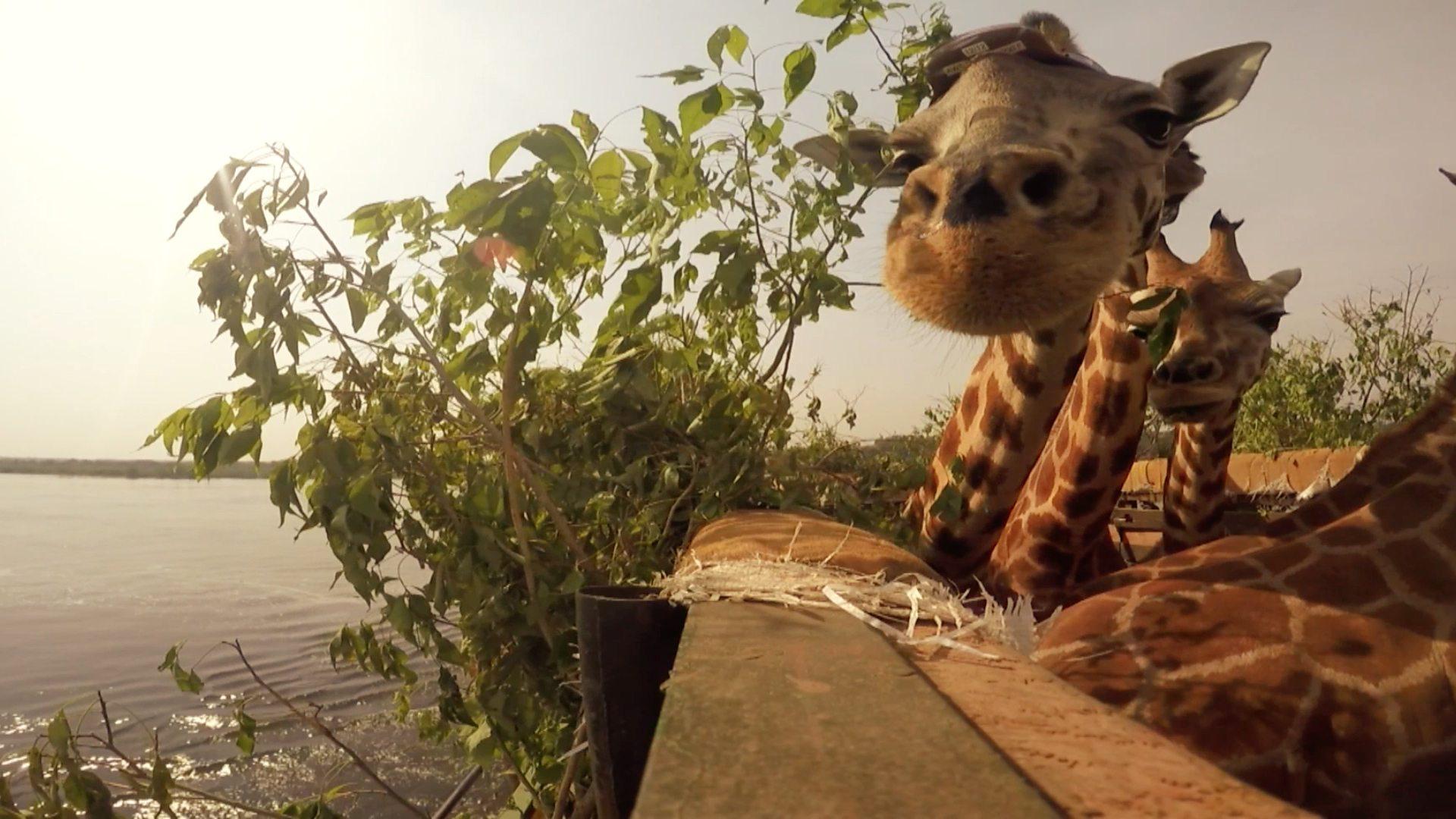 bbc two natural world 2016 2017 giraffes africa u0027s gentle giants