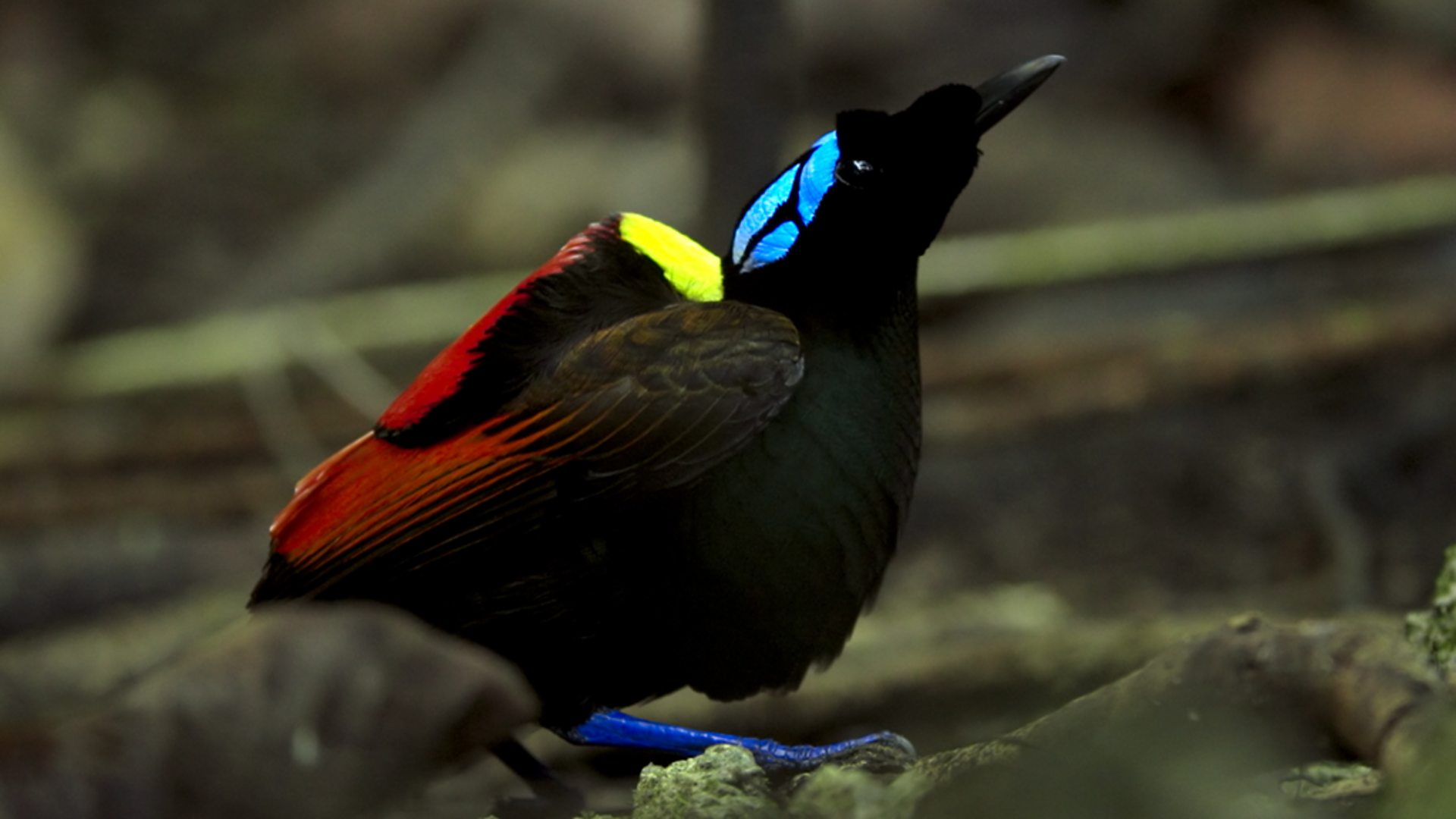 BBC One - Planet Earth II - Bird of paradise – a new perspective