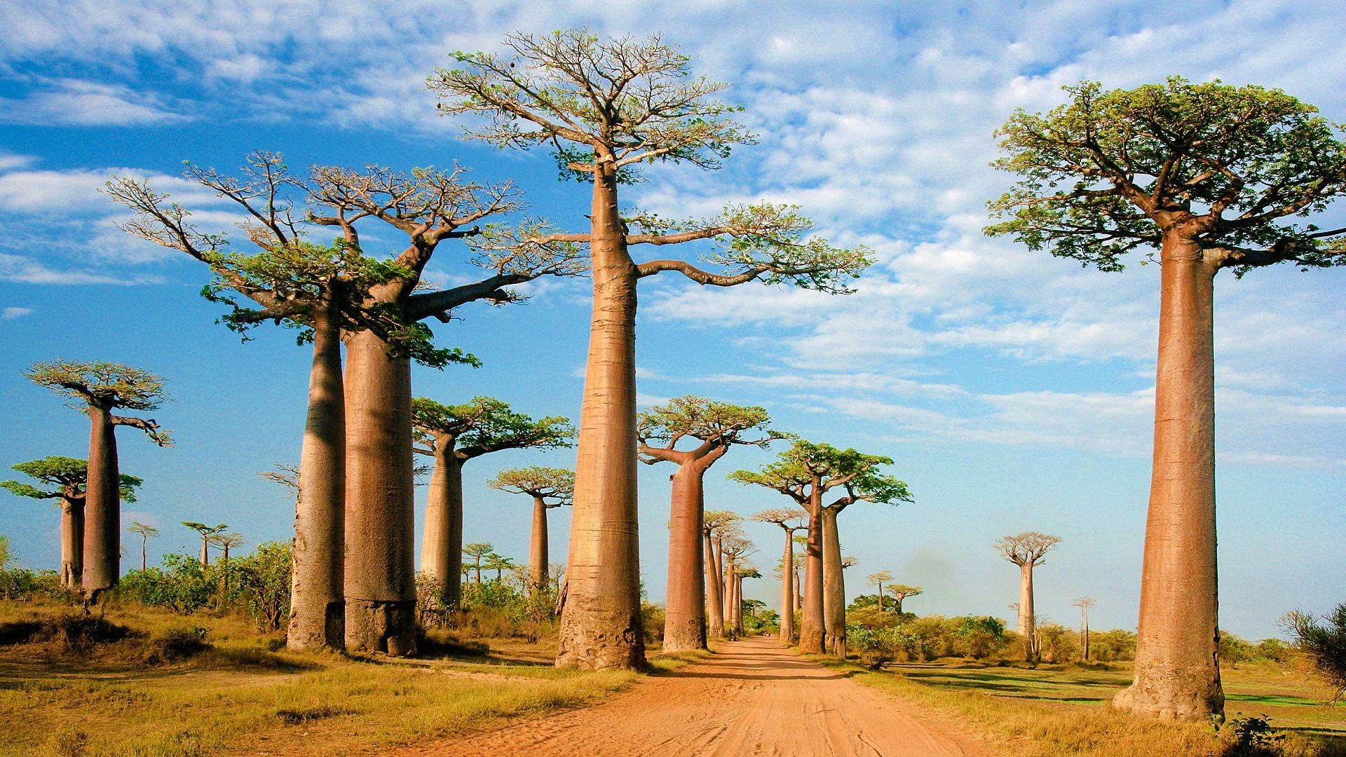 Cultivating baobab