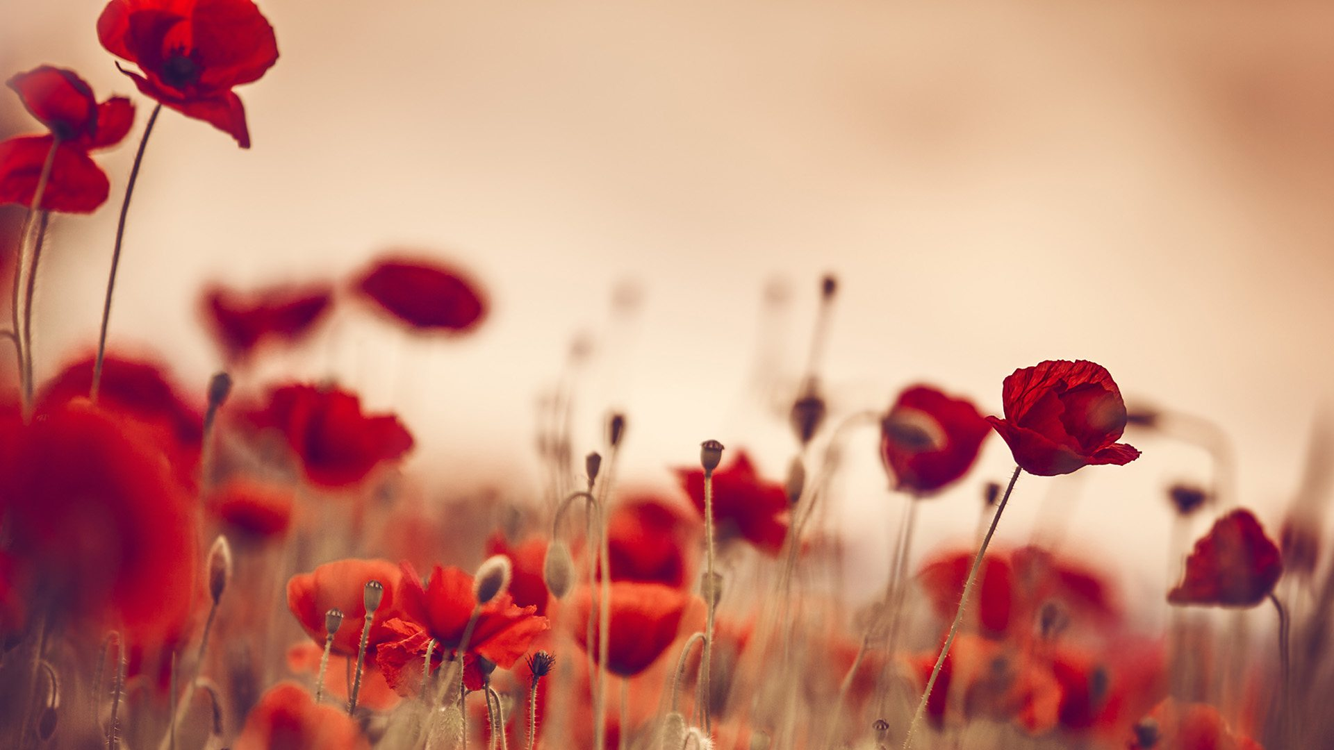 Bbc Radio 3 The Essay Seven Significant Facts About Poppies