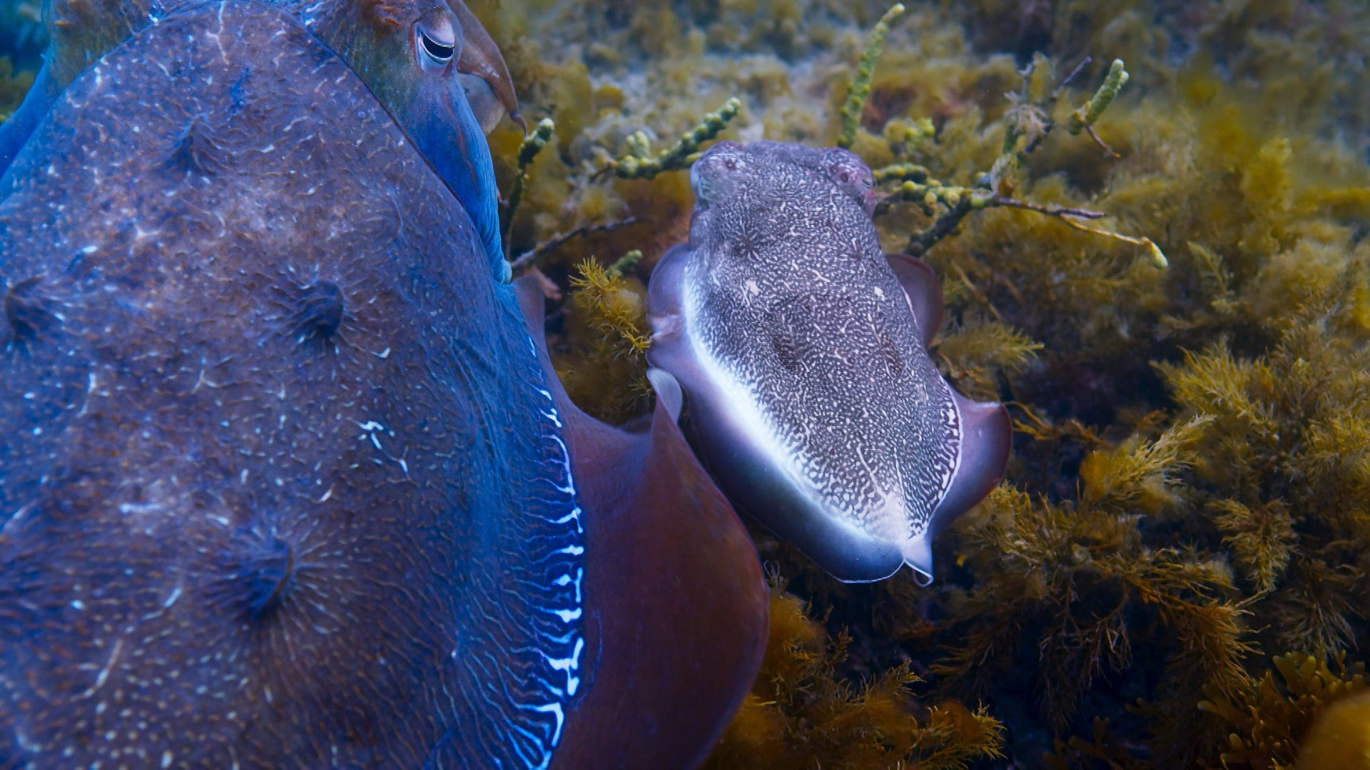 BBC One - Blue Planet II - Filming the giant cuttlefish aggregation