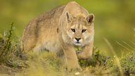 Patagonia: Had the pumas attacked, we would have been done for